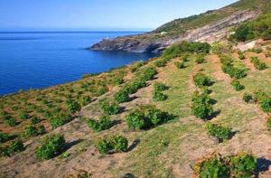 Vigneti ad alberello nell'Isola di Pantelleria